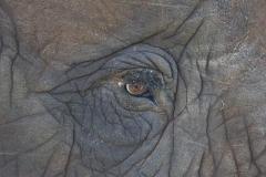 elephant-eye