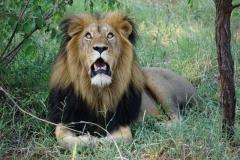 lion-knp